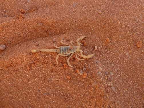 Saúde de Cordeirópolis orienta sobre os cuidados com o aparecimento de escorpiões nesta época do ano