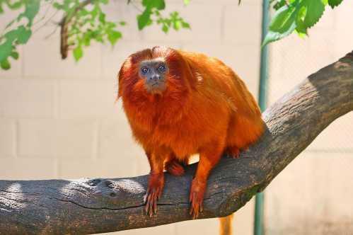 Zoo de Limeira recebe dois novos moradores: um mico-leão-dourado e um lobo-guará