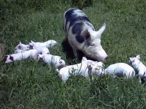 Secretaria de Agricultura e Abastecimento esclarece que coronavírus que acomete suínos é diferente do Covid-19