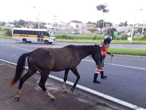 Prefeitura de Limeira recolhe cavalo abandonado no Anel Viário