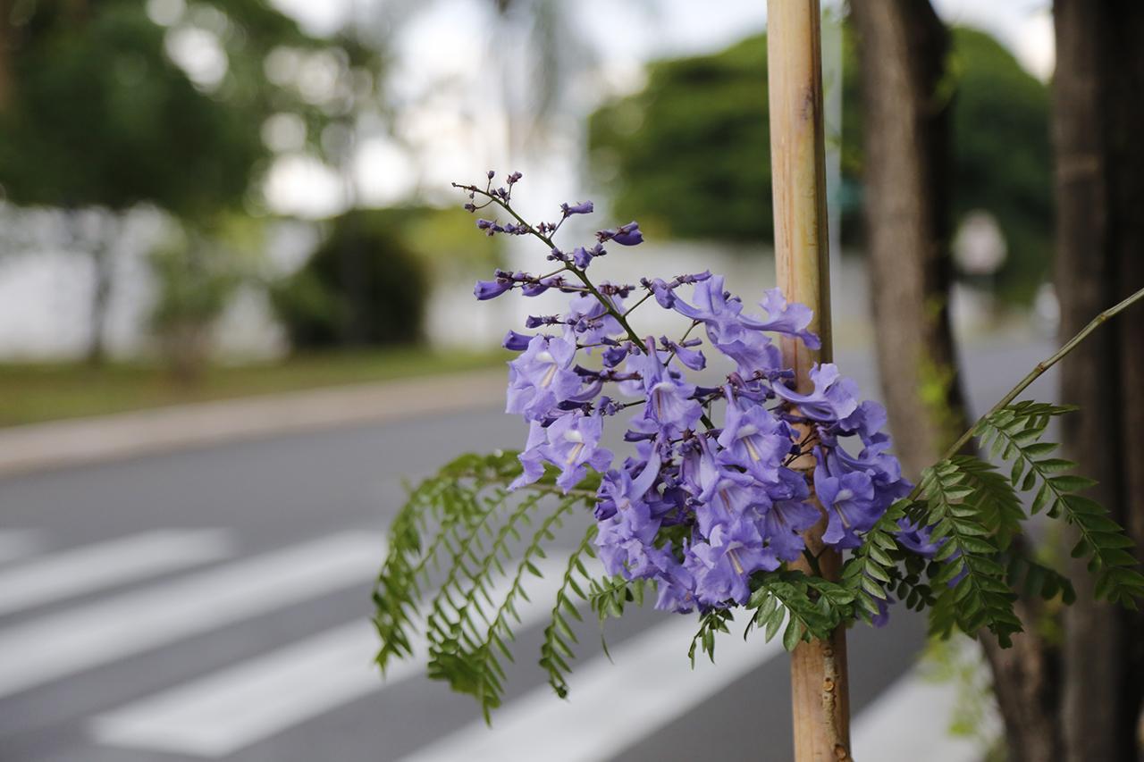 Jacarandás da Avenida Comendador Agostinho Prada em Limeira começam a florescer