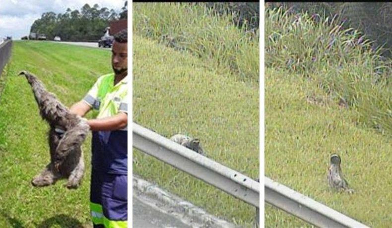 Bicho-preguiça é resgatado no Rodoanel